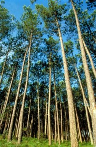French Pine Bark is the Source of Pycnogenol